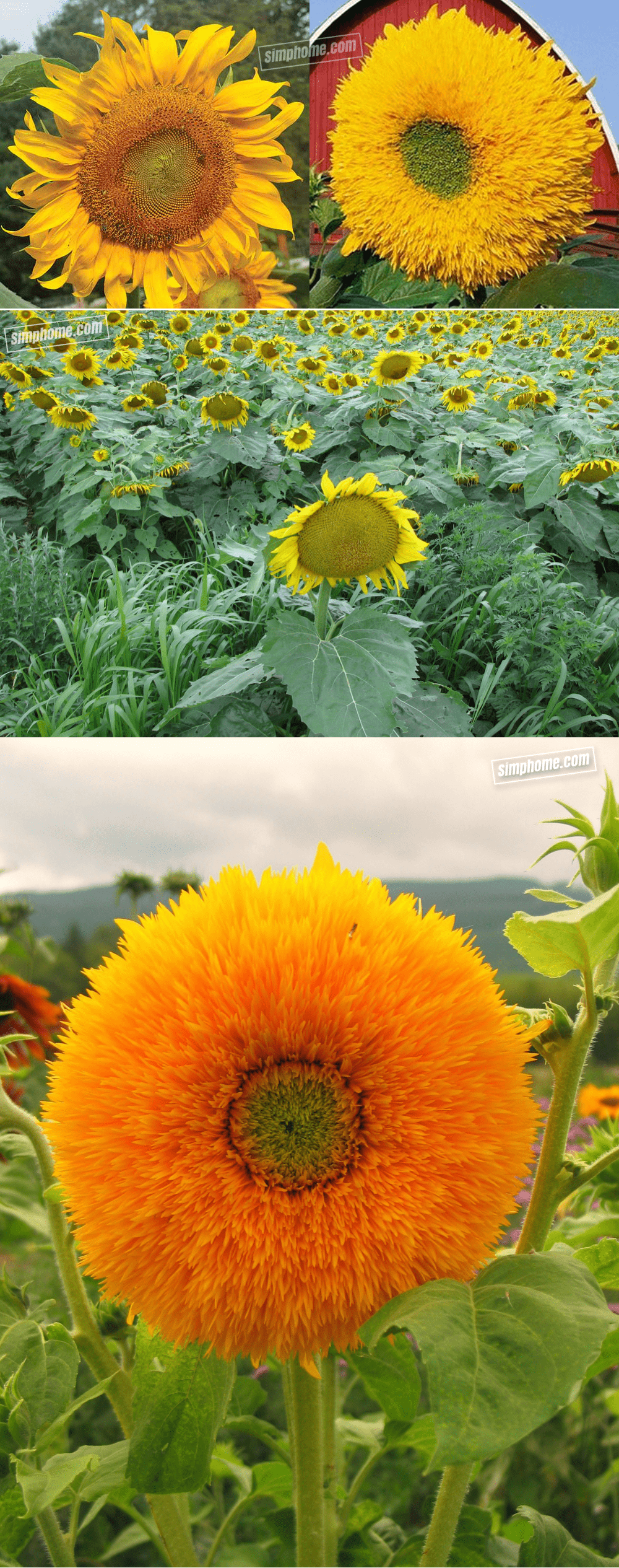 Simphome.com .1. Complete your garden with this Low Maintenance Sunflowers