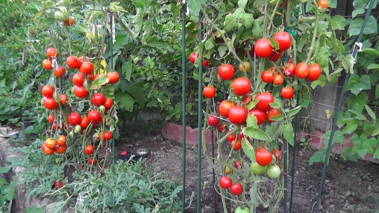 grow tomatoes not foliage youtube for 10 tomato garden ideas most brilliant as well as beautiful