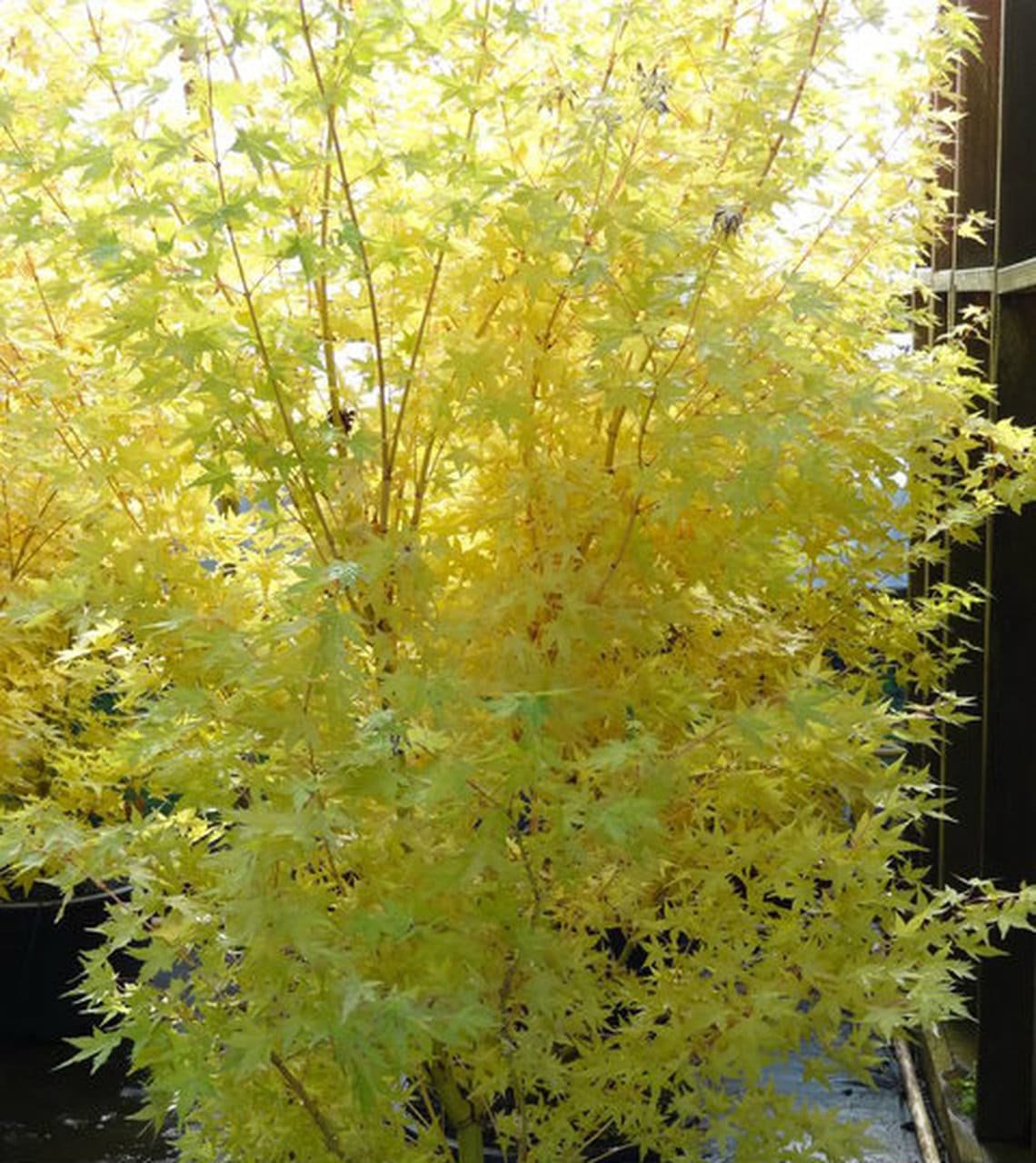 1.Round out It with a Stone Lantern via Simphome It is yellow maple